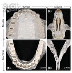 Human and Mouse Teeth